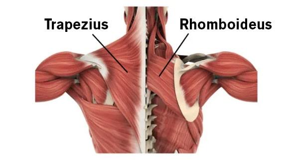 Rhomboideus en trapezius